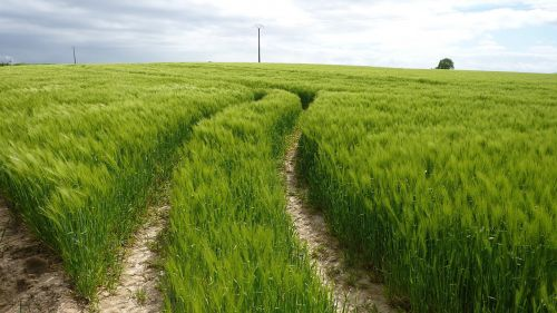green winding tracks wheat field