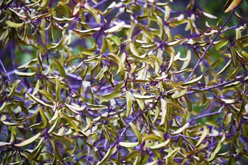 Green And Violet Winter Foliage