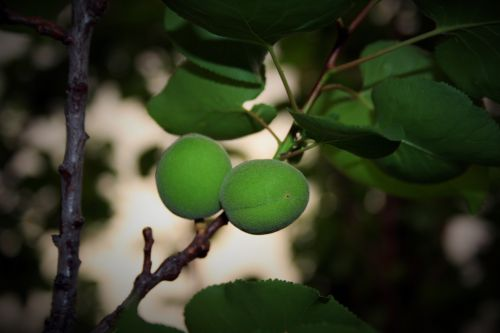 Green Apricots On Tree