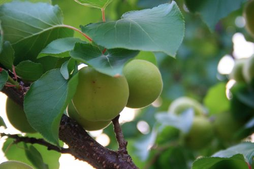 Green Apricots Under Leaves