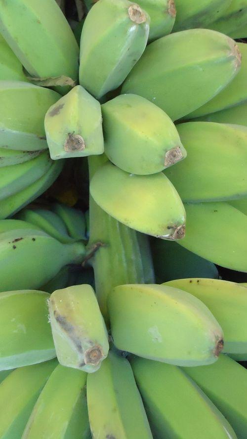 green bananas plant bunch