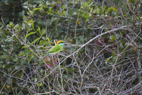 green bee-eater bird merops orientalis