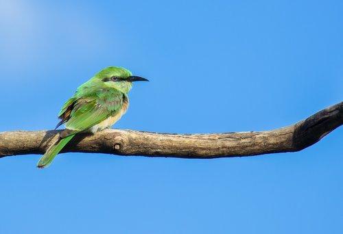 green bee eater  bird  animal