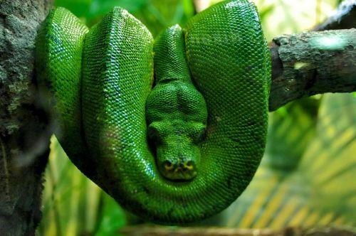 green boa boa nature