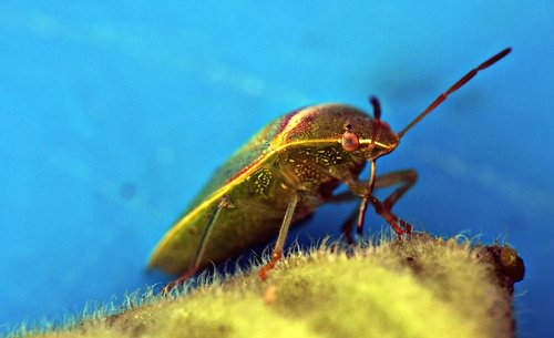 green bug  insect  arthropod