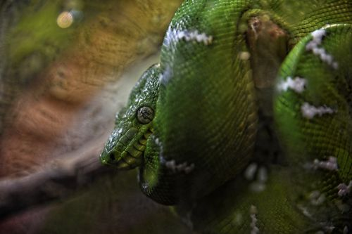 Green Coiled Tree Snake