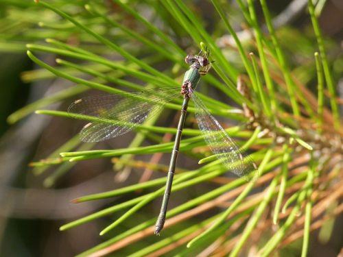 green dragonfly chalcolestes viridis dragonfly