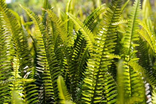 Green Ferns As Background