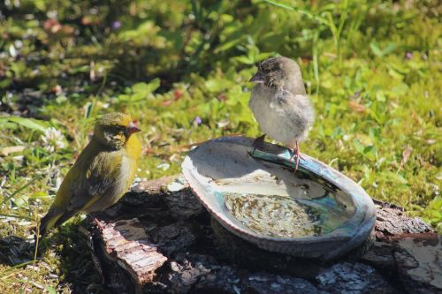 green finches bird world sweden