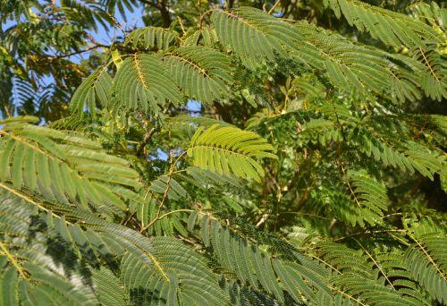 žalia lapija,medis,dekoratyvinis krūmas,gamta,lapija,žalias,sodas