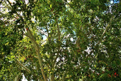 Green Foliage Of Maple