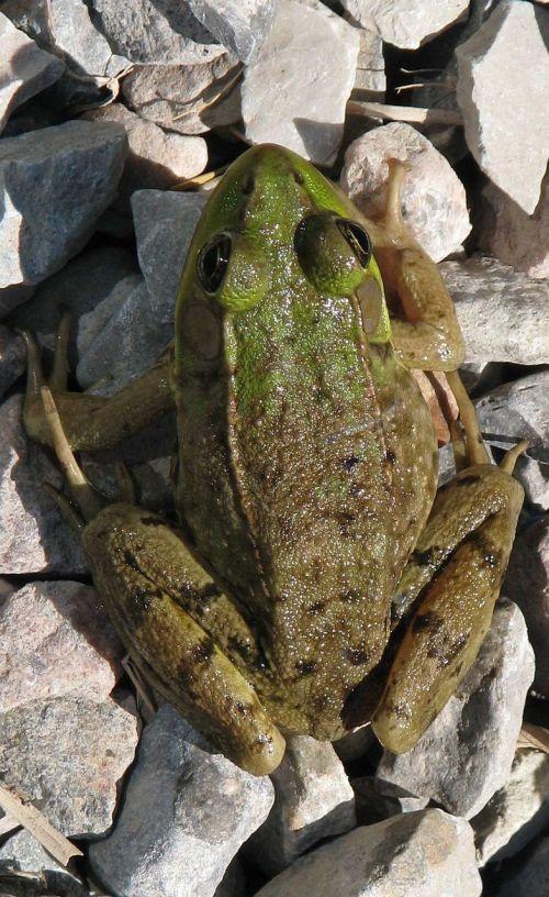 green frog lithobates clamitans moneymore