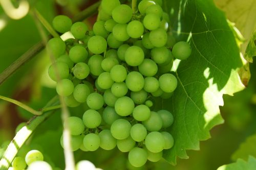 green grapes wine winegrowing