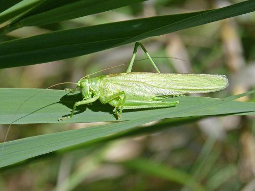 green grasshopper lobster leaf