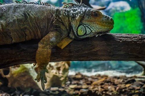 green iguana  iguana iguana  reptile