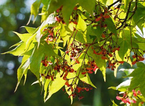 green japanese maple inflorescence botanical garden