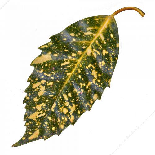 žalias, geltona, lapai, nuskaityti, izoliuotas, balta, fonas, augalas, tikras, vaizdas, žalias lapas