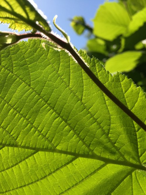 green leaf  blue sky  leaves