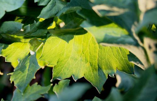 green leaves sun play luminous