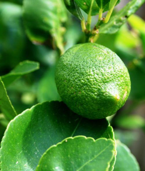 green lemon fruit lemon