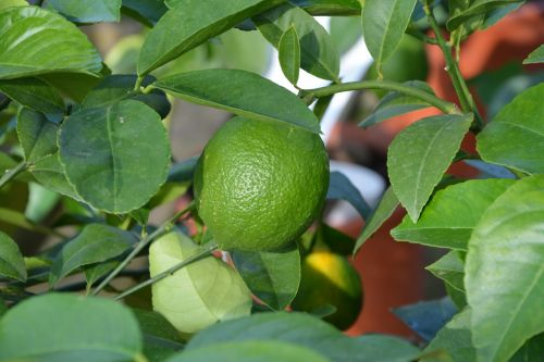 green lemon citrus fruit