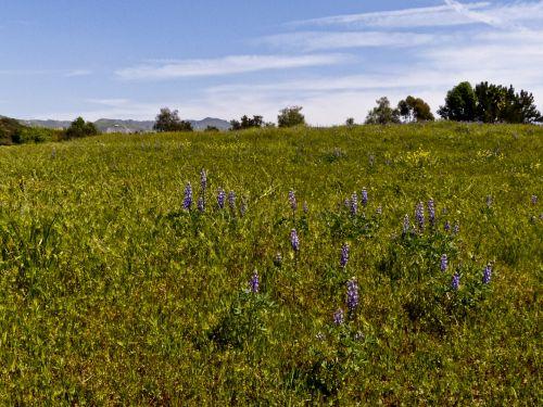 Green Lilac Field