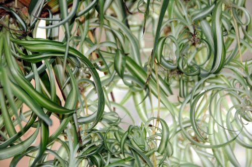 žalia lelija,augalas,kambariniai augalai,žalias,išnaudoti,kiek galima,lapai