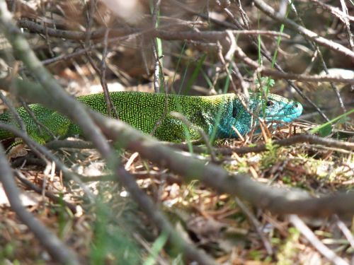 green lizard lacerta viridis male