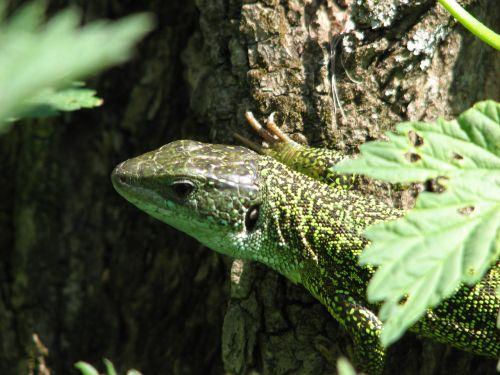 green lizard reptile lizard