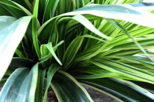 Green Long Leaves