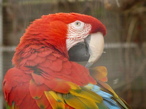 green macaw parrot dark red ara