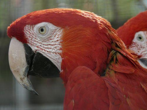 green macaw parrots dark red ara