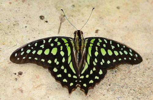 green malachite butterfly green niagara butterfly conservatory