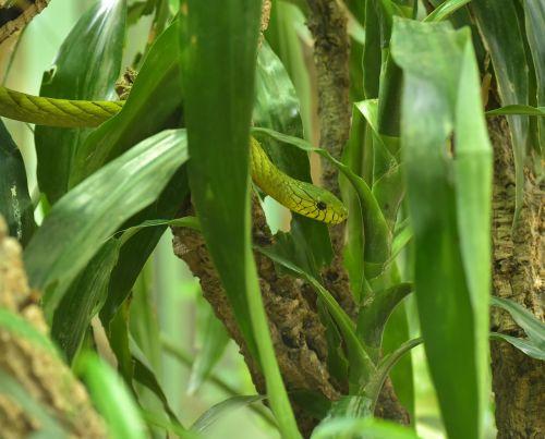 green mamba dendroaspis viridis real poison snakes