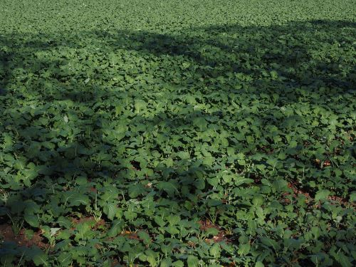 green manure field agriculture