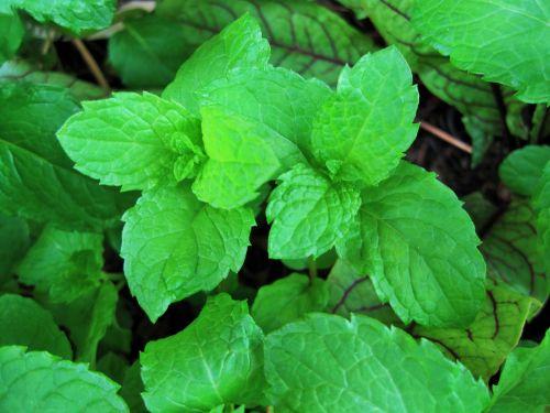 Green Mint In A Pot