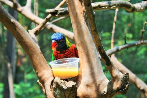 paukštis, spalvinga, dubuo, nektaras, medis, žalia naped lorikeet ir nektaras