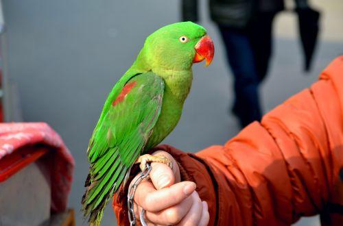 Green Parrot 1