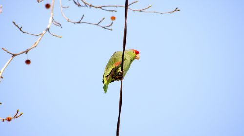 green parrot parrot on a wire