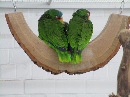 žalia papūgos,paukščiai,dekoratyviniai paukščiai,žalias,plumėjimas,Lori,gyvūnų pasaulis