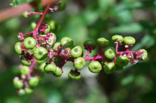 green pokeweed berries berries pokeweed