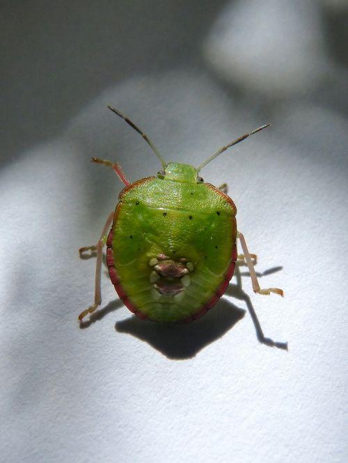 green prasina i pentatomid bug hedionda