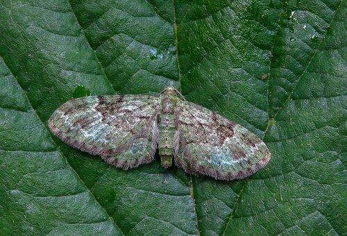 green-pug  moth  tiny