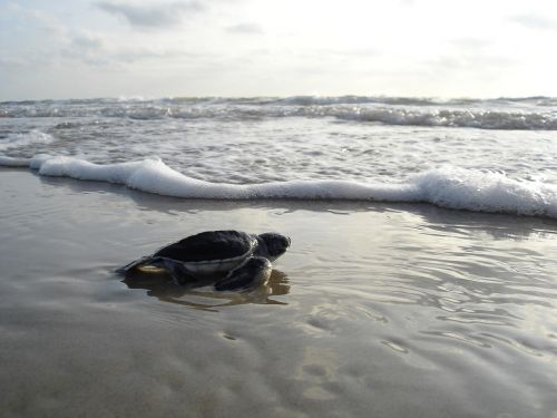 green sea turtle hatchling beach