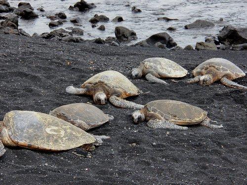 green sea turtles  turtles  sea turtles
