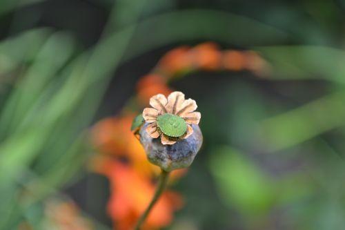 green shield bug final stage nymph palomena prasina