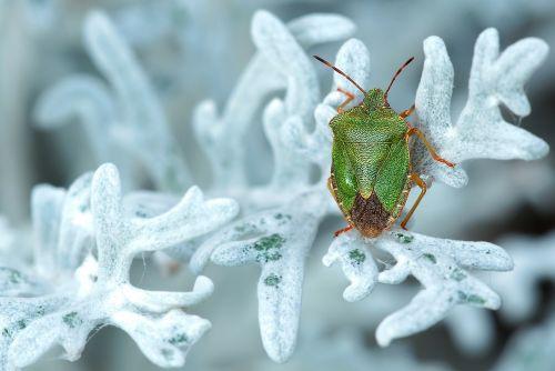 green stinkwanze insect nature
