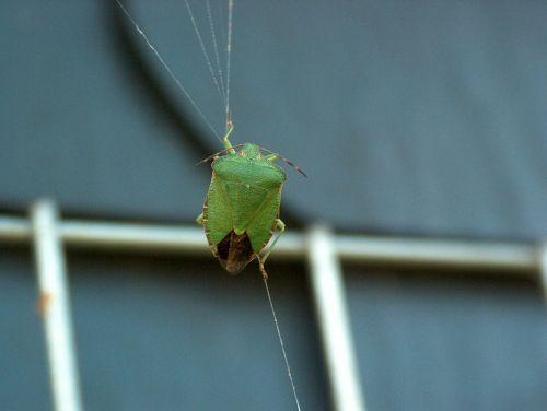 green stinkwanze bug stink bug