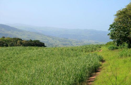 Green Sugar Cane Landscape