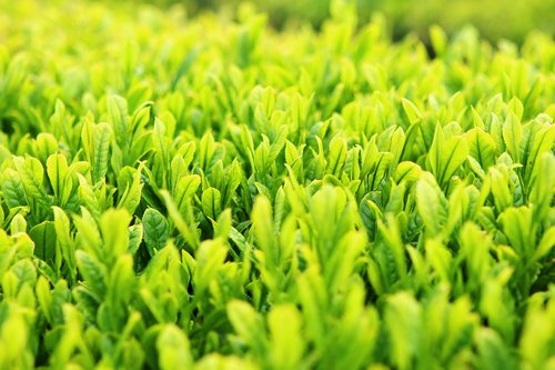 green tea plantation  tea  nature